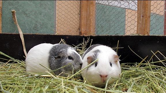 Meerschweinchen-Weibchen Hanni & Nanni