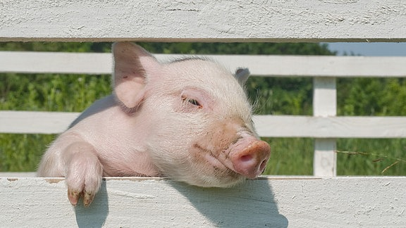 Ein Schwein schaut durch einen Zaun.