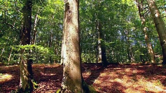 Der Nationalpark Hainich in Thüringen ist einer der letzten Buchenurwälder Europas.