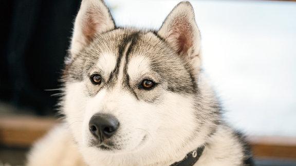 Ein Schlittenhund.