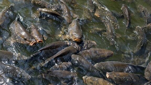 Karpfen in einem Fischteich