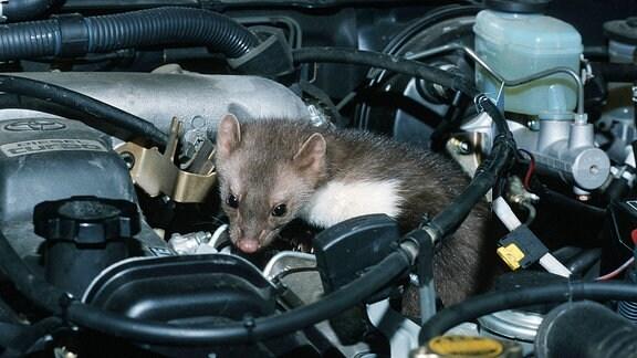 Eine Marder unter der Motorhaube.