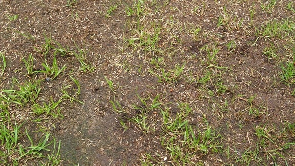 Spärlich wachsender Rasen