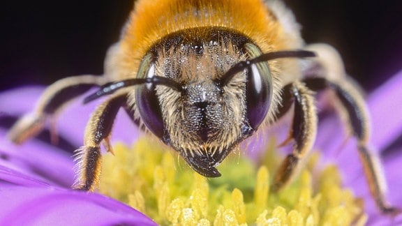 Grosse Harzbiene bei der Nahrungsaufnahme auf Aster