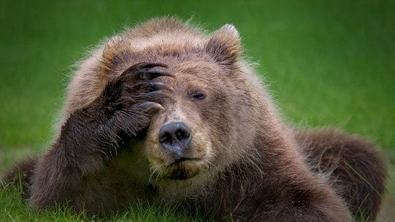 Ein Braunbär-Junges liegt auf einer Wiese und hält sich den Kopf mit einer Tatze