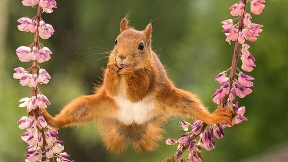 Ein Eichhörnchen blanciert mit den Beinen zwischen zwei Blumen und macht einen Spagat