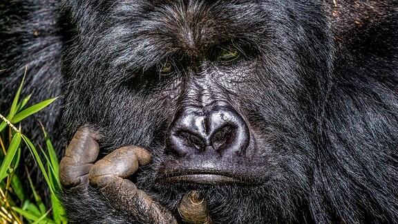 Ein Gorilla schaut gelangweilt