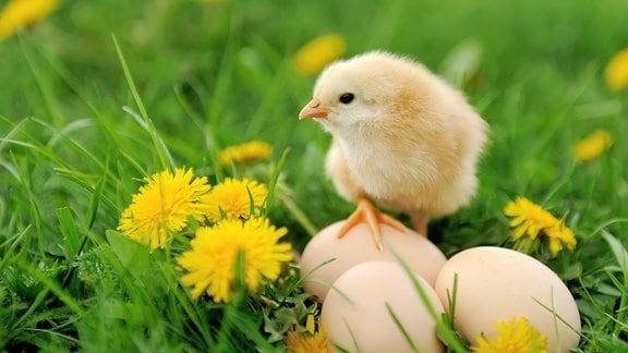 Eine saftige grüne Wiese mit Löwenzahn, darauf drei Hühnereier und ein kleines gelbes Küken, das ein Bein auf einem Ei abgestellt hat.
