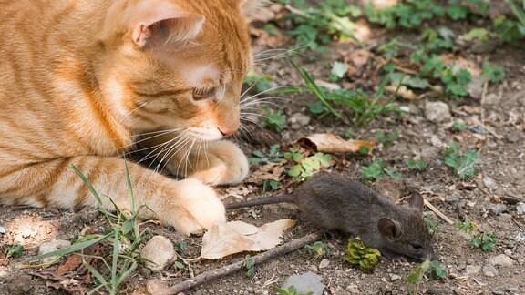 Eine Katze jagt eine Maus.