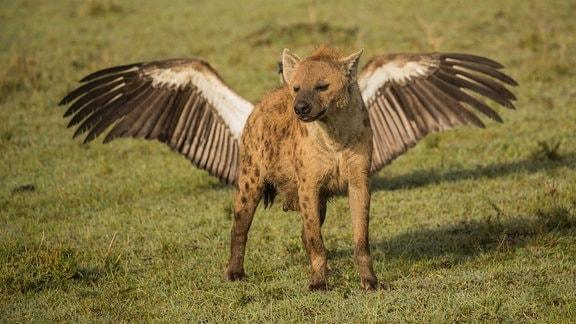 Eine Hyäne in Kenia steht vor einem Vogel, der gerade die Flügel ausbreitet. Es wirkt, als ob der Hyäne Flügel gewachsen seien.