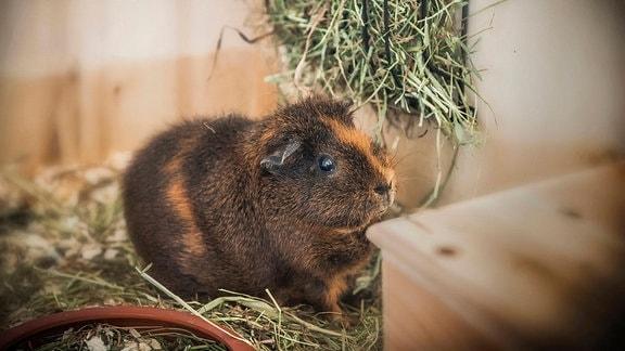 Nahaufnahme eines Hausmeerschweinchen in seinem Gehege. Kleines, felliges Tier, das an einen Hamster oder eine Maus mit kleinen Ohren erinnert. Umgeben von Holzwänden und Stroh, Umgebung unscharf.