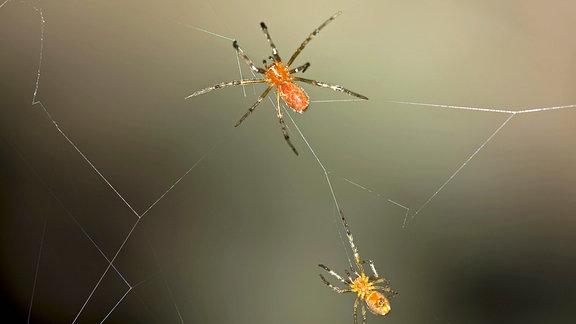 Soziale Spinnen (Anelosimus sp.) in einem gemeinsamen Netz