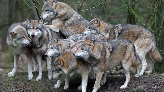 Im Natur- und Umweltpark in Güstrow ist am 10.02.2011 ein Rudel Wölfe unterwegs.